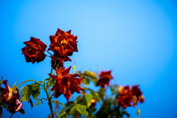 雨のサンポート高松のバラ