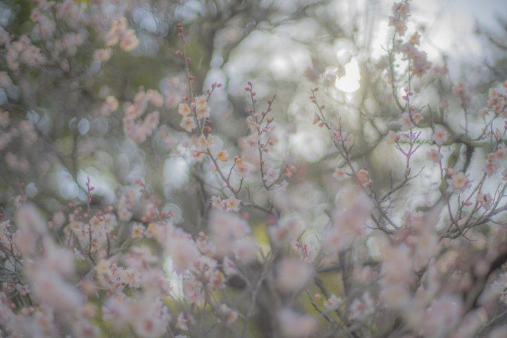 栗林公園北梅林の白い梅