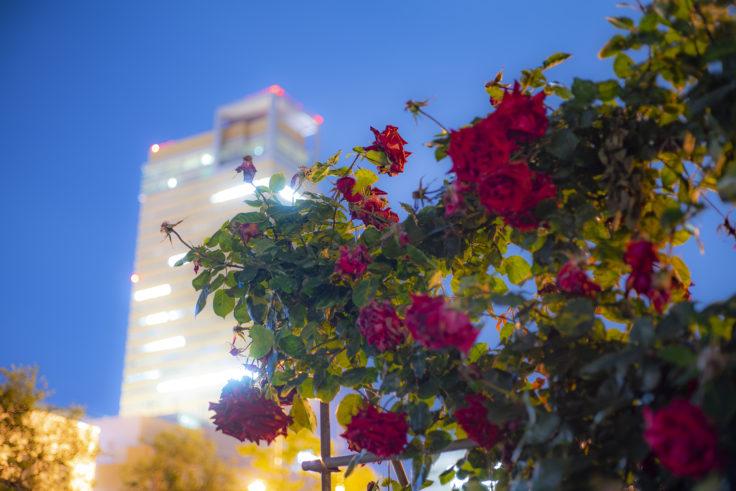 サンポート高松のバラ高松シンボルタワー背景