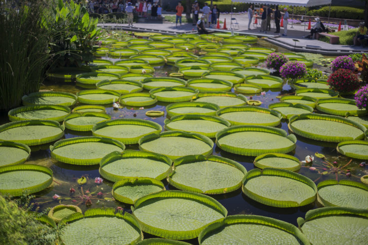 花影の池多数のオオオニバス