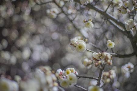 1月に咲いた桃