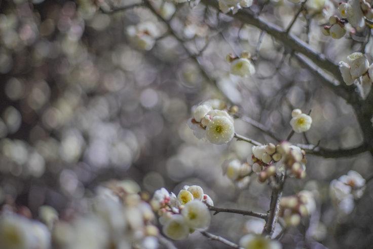 1月の梅の花