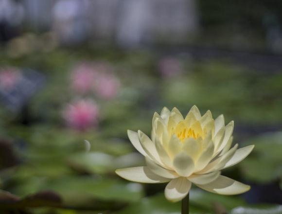 みずの森白い睡蓮