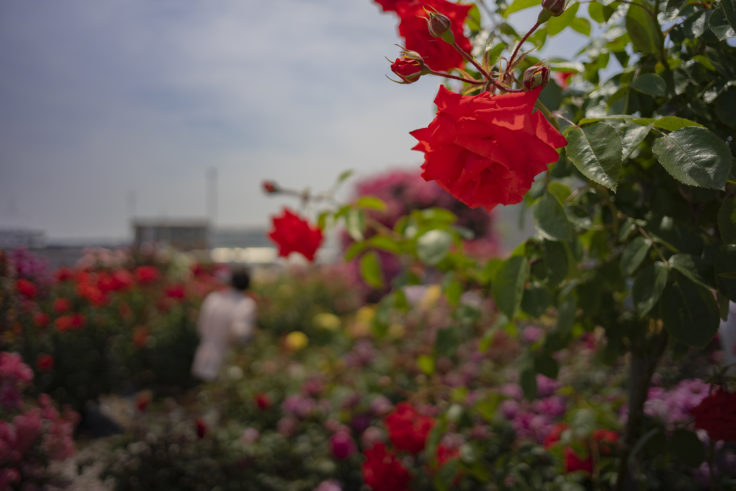 サンポート高松の赤いバラ
