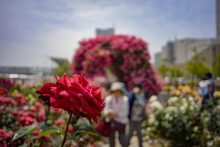 サンポート高松の赤いバラ2