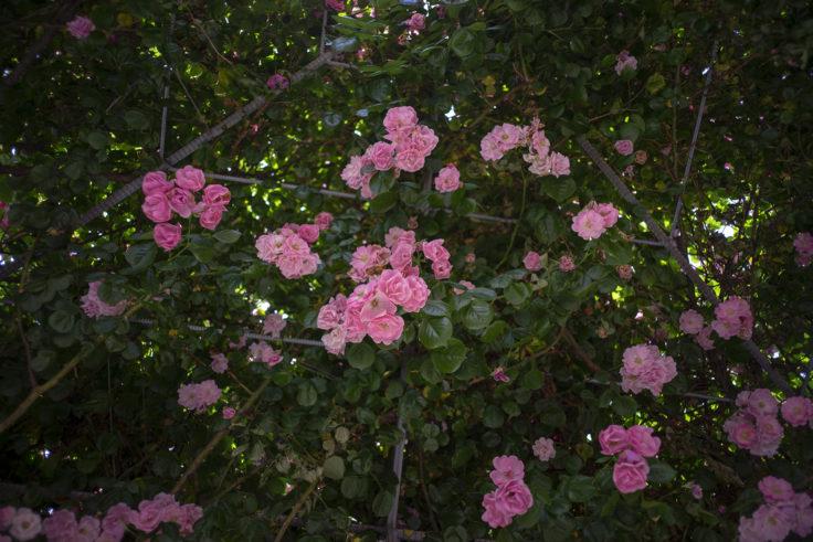 サンポート高松のピンクのバラドーム