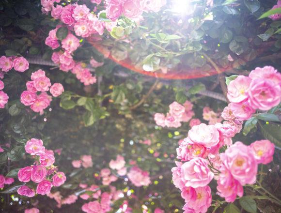 サンポート高松のピンクのバラ