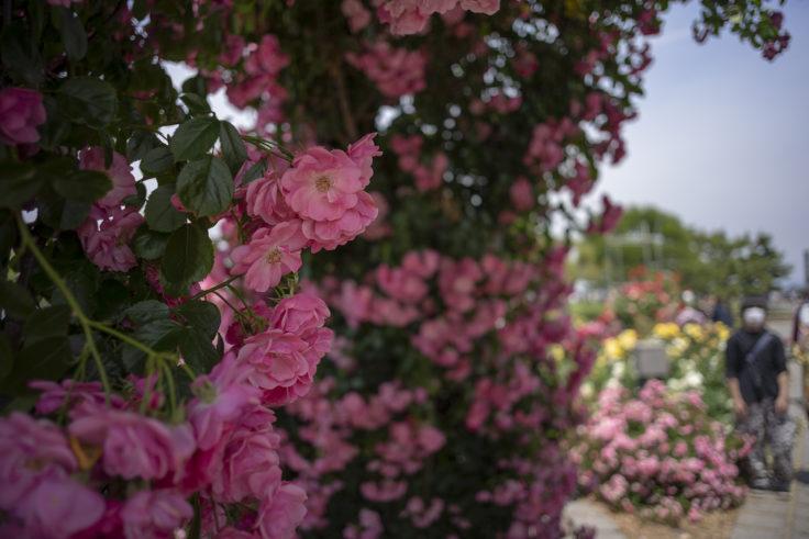 サンポート高松のピンクのバラ2