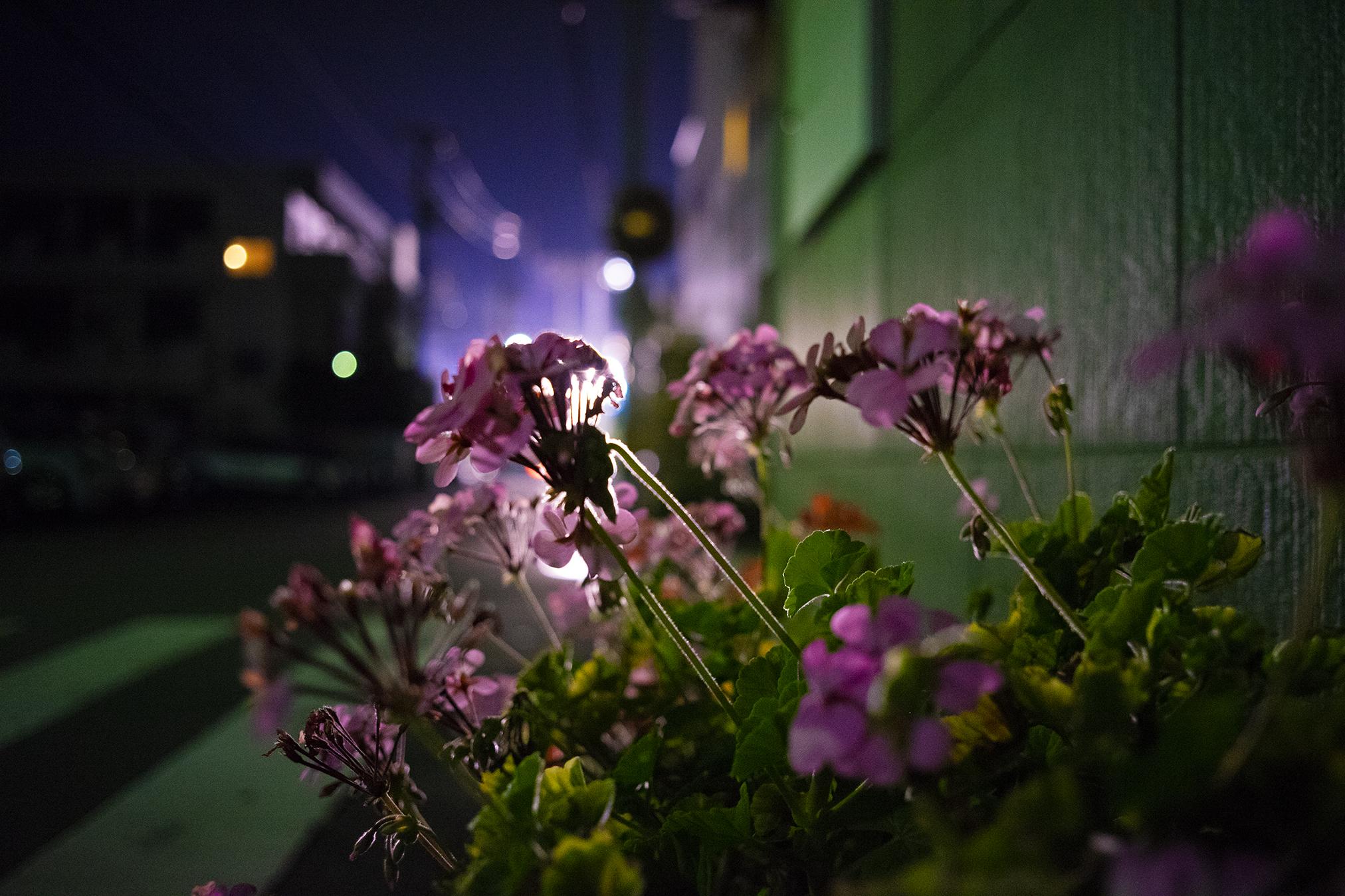 α7+Contax G Biogon T*28mm F2.8で花を撮影