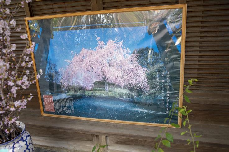 退蔵院の紅しだれ桜写真