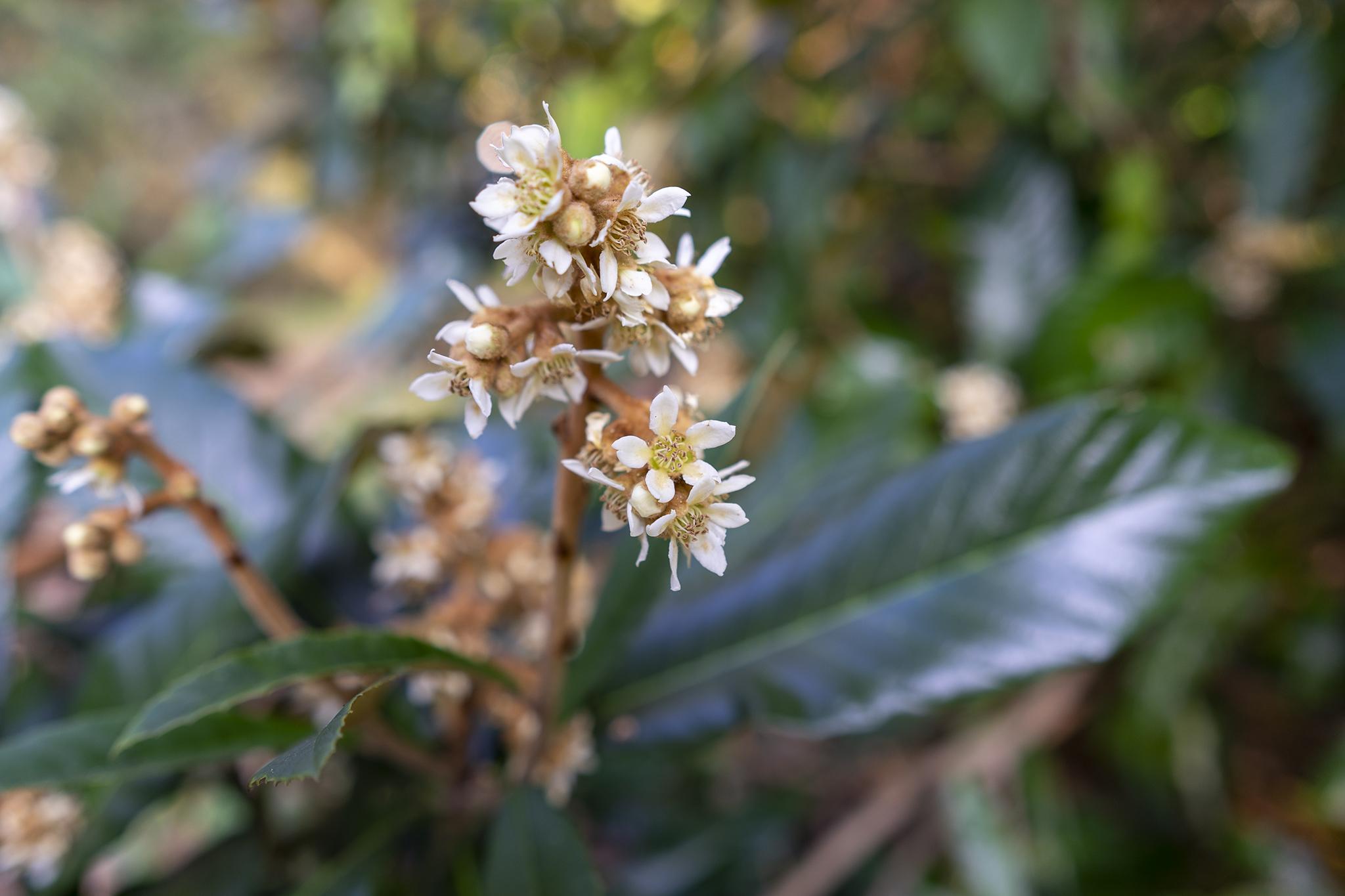 ビワの花言葉と誕生花