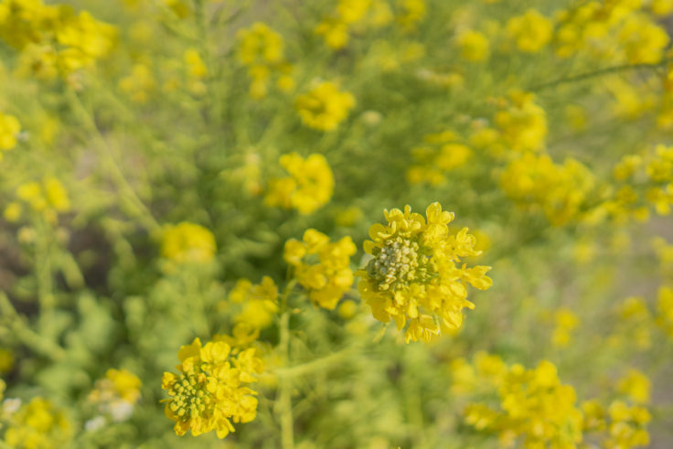 ウチノ海総合公園の菜の花2