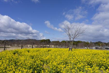 ウチノ海総合公園の菜の花