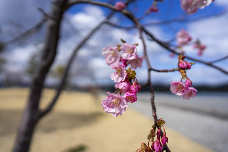 ウチノ海総合公園の河津桜