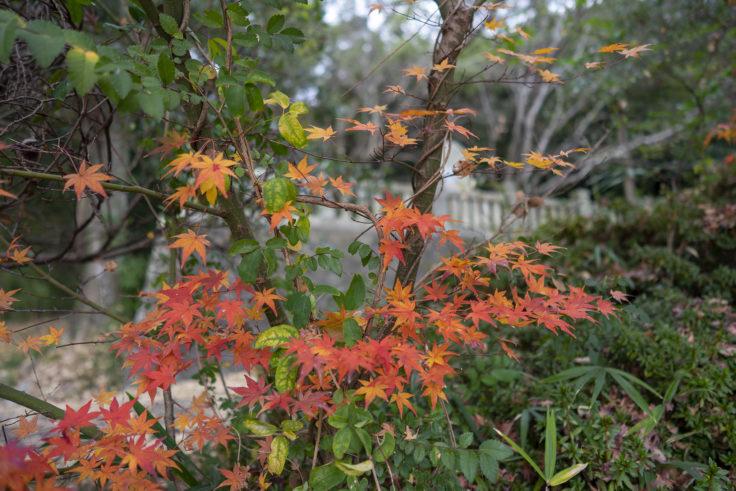 清水神社の紅葉2