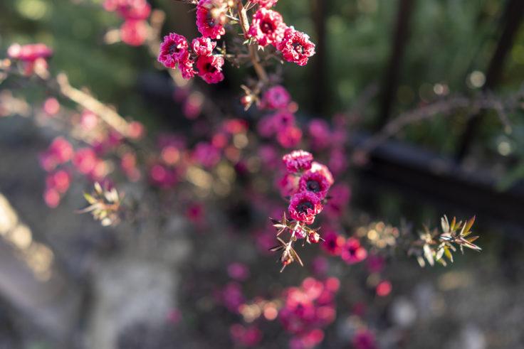 仏生山の森ガーデンのワックスフラワー