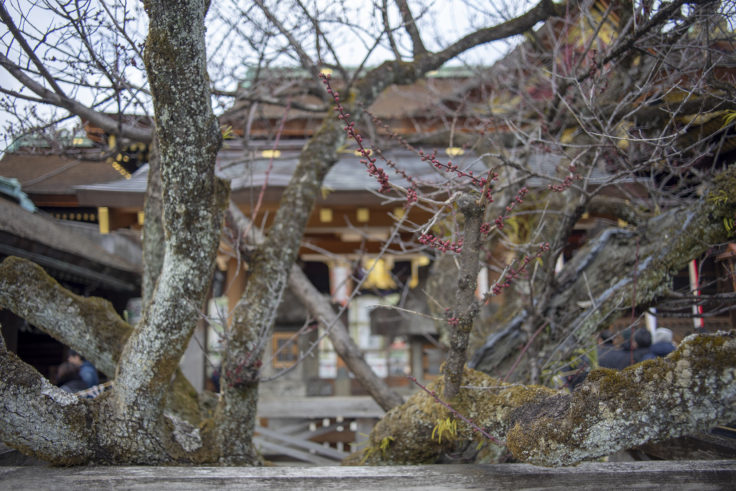 北野天満宮の梅の木