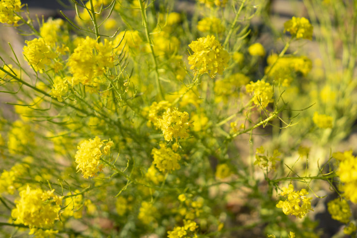 仏生山の森ガーデンの菜の花