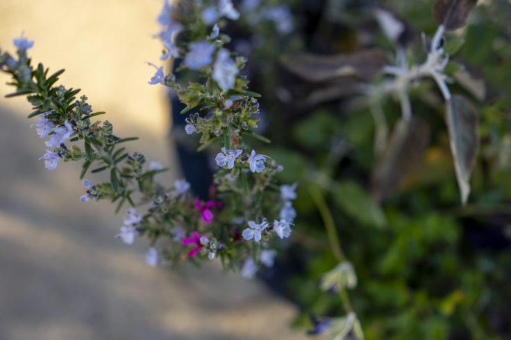 仏生山の森ガーデンのローズマリー