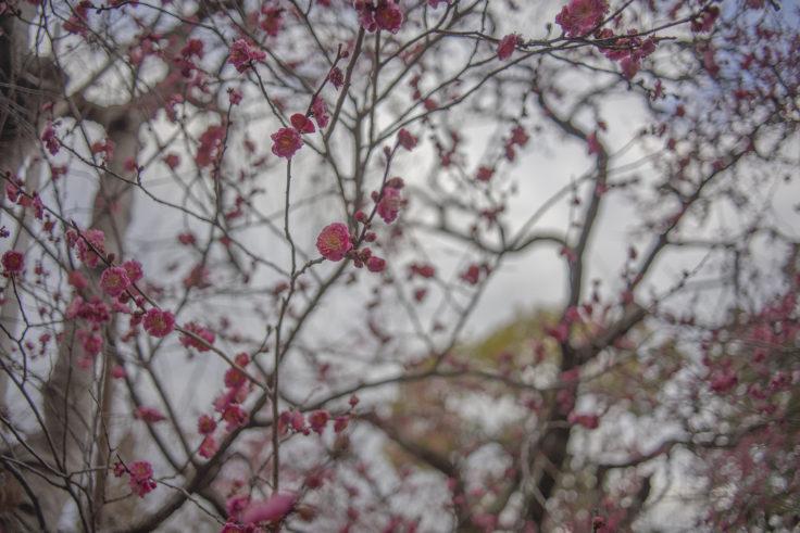 北野天満宮の梅の花2