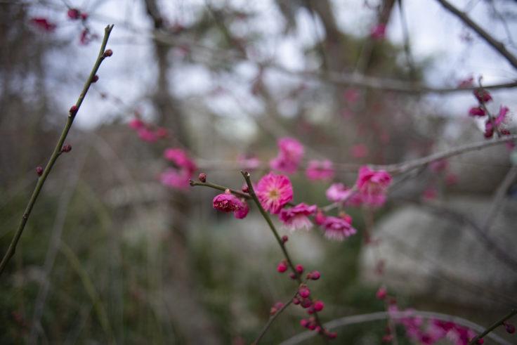 北野天満宮梅苑の梅の花
