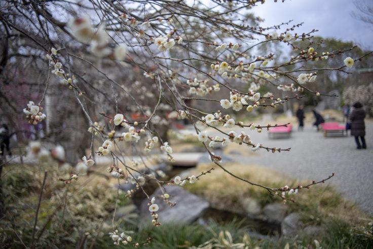 北野天満宮梅苑の梅の花3