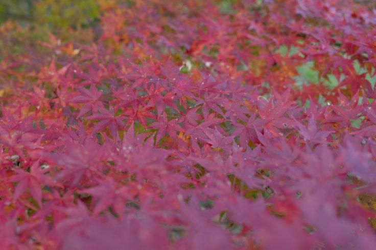公渕森林公園の紅葉3