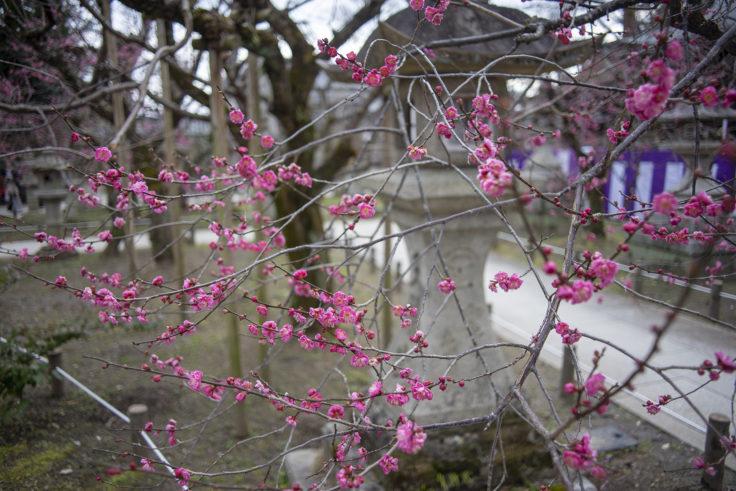 北野天満宮梅苑の梅の花4