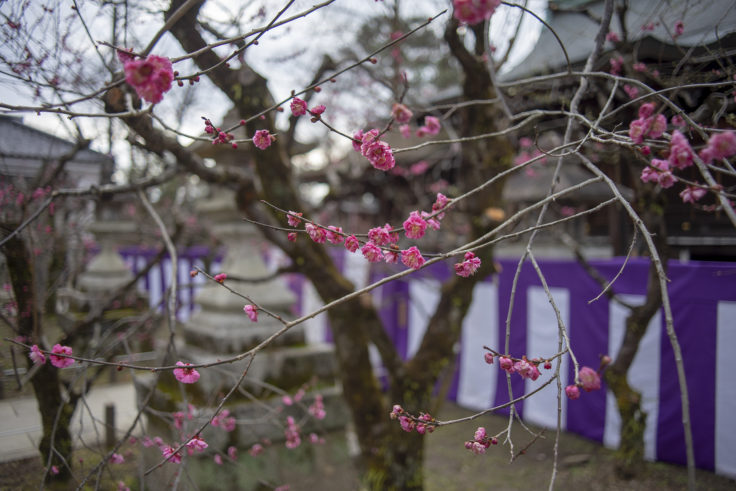 北野天満宮梅苑の梅の花5