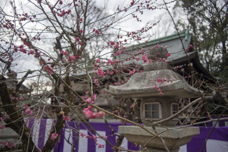 北野天満宮梅苑の梅の花6