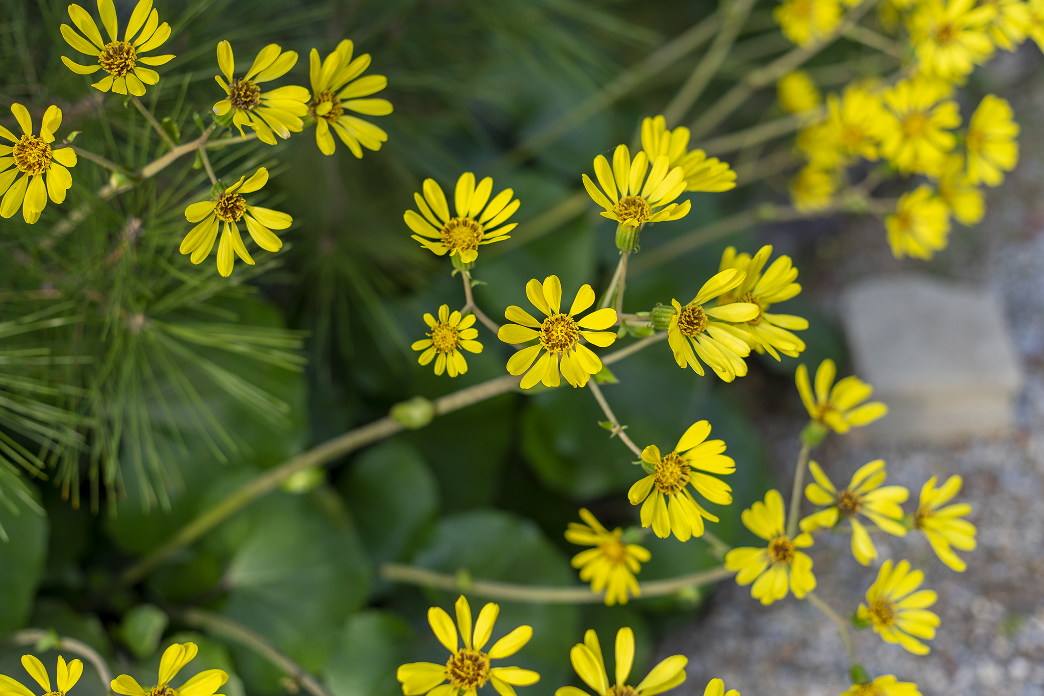 ツワブキの花言葉と誕生花