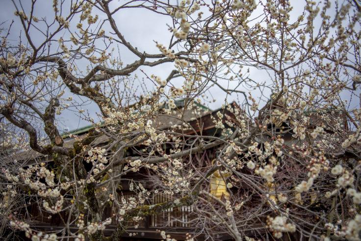 北野天満宮梅苑の梅の花7