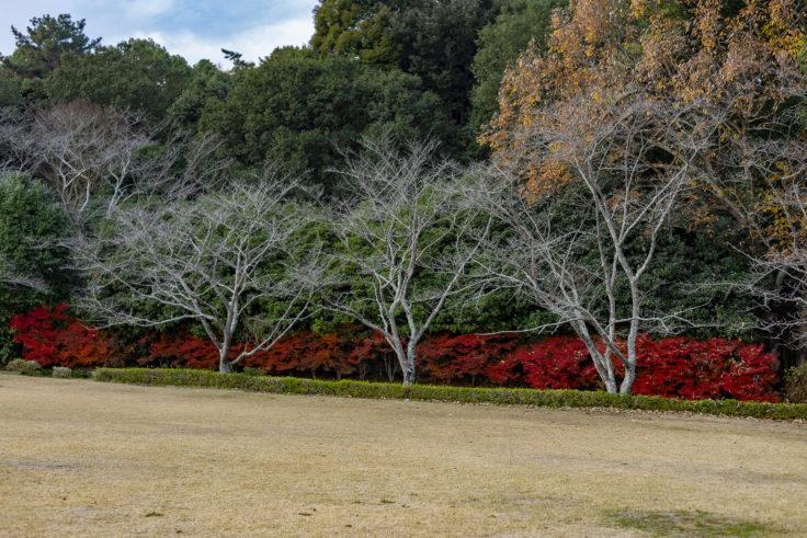 公渕森林公園のドウダンツツジ紅葉