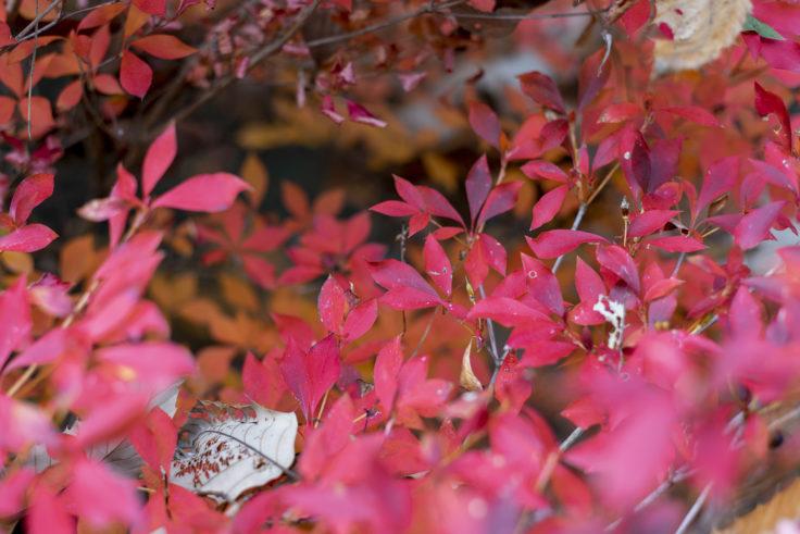 公渕森林公園のドウダンツツジ紅葉3