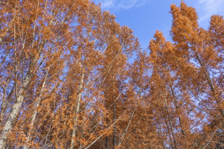 太古の森のメタセコイア紅葉