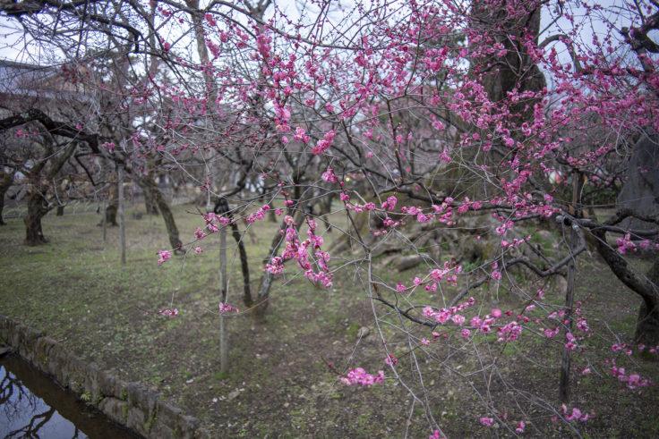 北野天満宮梅苑の梅の花2