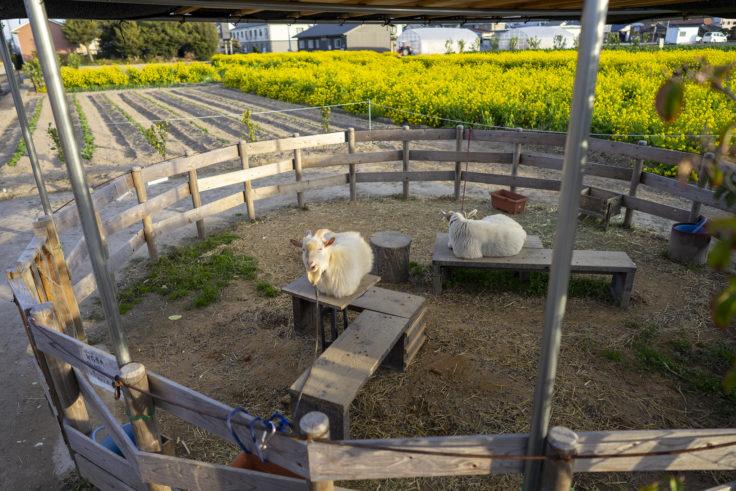 仏生山の森ドリンクのヤギ