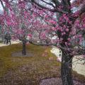 北野天満宮の梅苑の見頃はまだだった。
