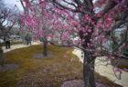 北野天満宮梅苑の咲き誇る梅