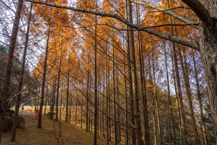 太古の森のメタセコイア紅葉2