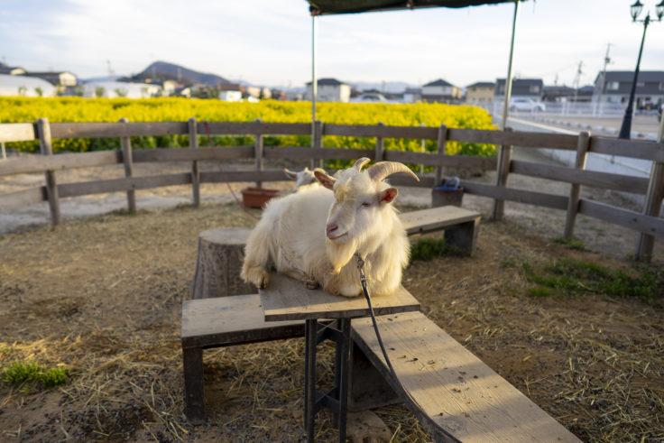 仏生山の森ドリンクのヤギそらまめ
