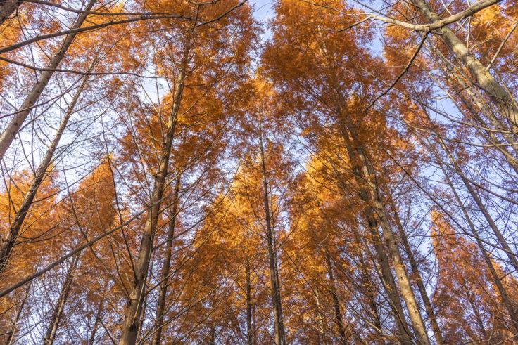 太古の森のメタセコイア紅葉3