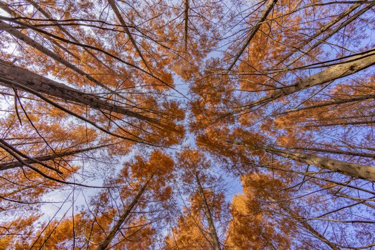 太古の森のメタセコイア紅葉4