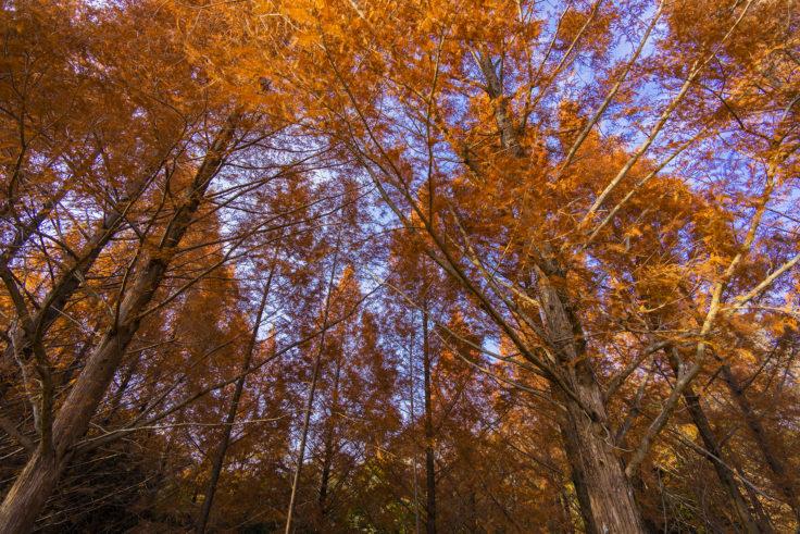 太古の森のメタセコイア紅葉5