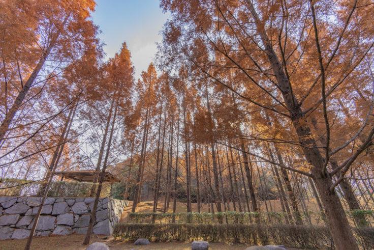 太古の森のメタセコイア紅葉8
