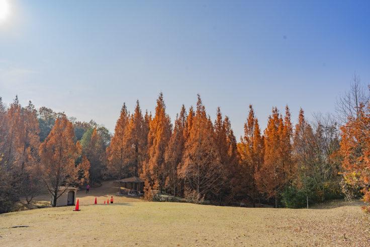 太古の森のメタセコイア紅葉9