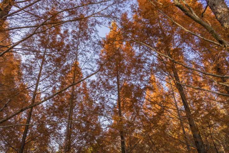 太古の森のメタセコイア紅葉10