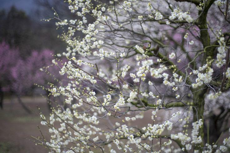 栗林公園の白梅