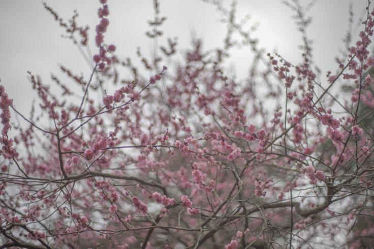 栗林公園のピンクの梅