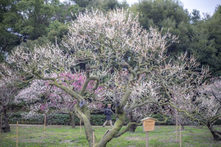 栗林公園の梅の花標本木
